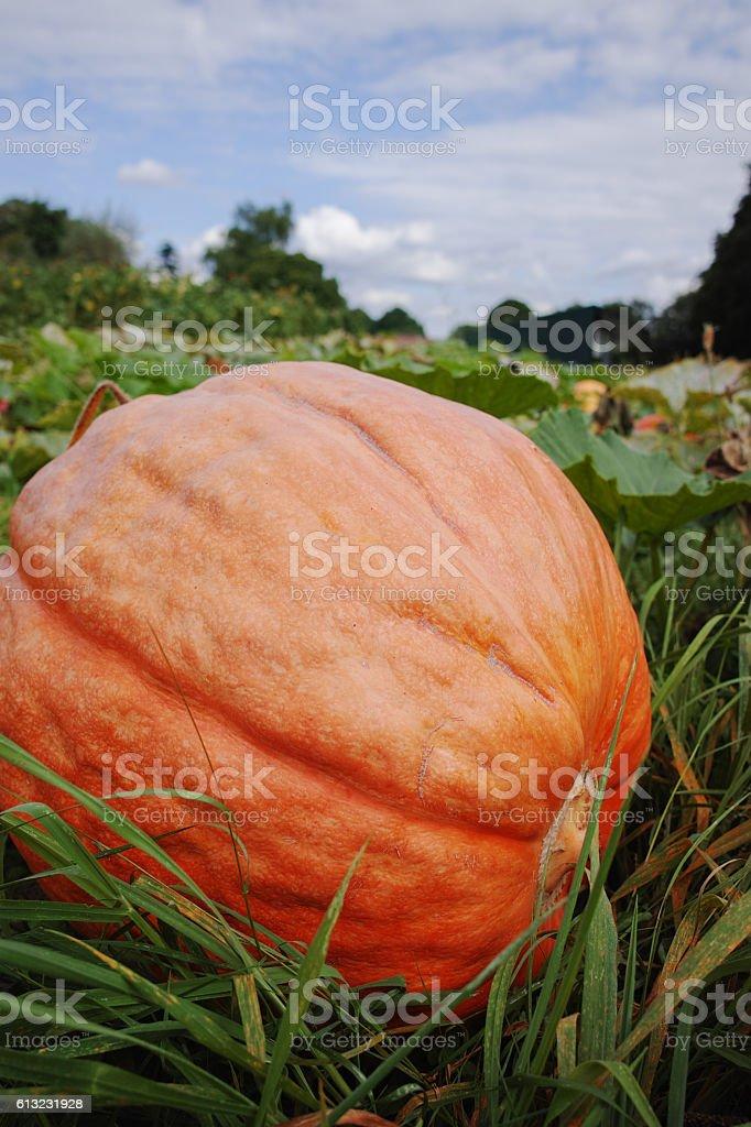 Giant orange pumpkin in pumpkin patch ready for harvest stock photo