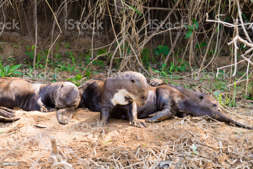 Giant otter from Pantanal, Brazil foto stock royalty-free