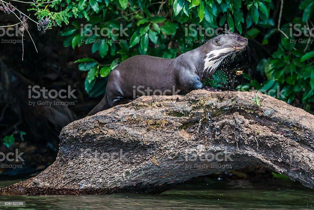 Giant otter on log in peruvian Amazon jungle peru stock photo