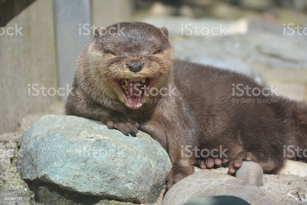 Giant otter stock photo