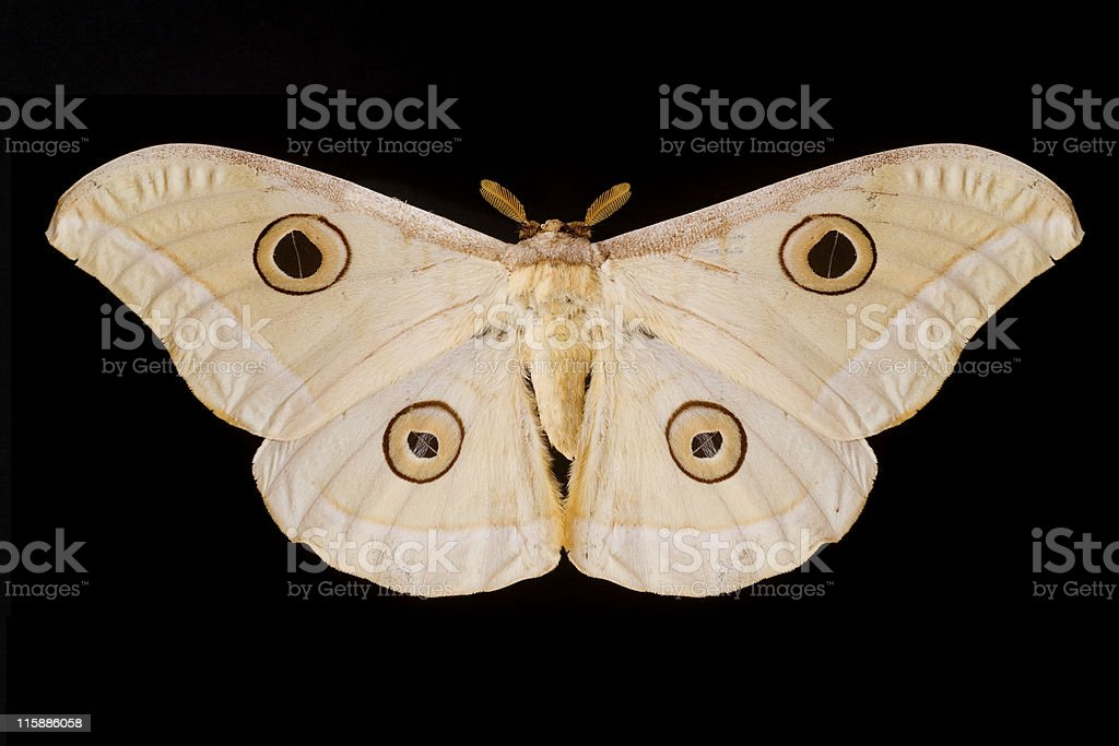 Giant pale moth on black background royalty-free stock photo