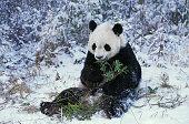 Giant Panda, ailuropoda melanoleuca, Adult sitting on Snow, Eating Bamboo, Wolong Reserve in China