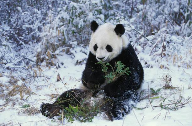 panda géant, ailuropoda melanoleuca, adulte assis sur la neige, manger du bambou, réserve de wolong en chine - panda photos et images de collection