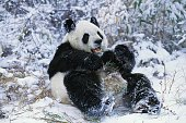 Giant Panda, ailuropoda melanoleuca, Adult standing on Snow, Wolong Reserve in China