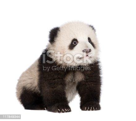 istock Giant Panda (6 months) - Ailuropoda melanoleuca 117849344