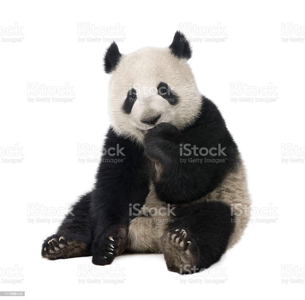 Giant Panda (18 months)-Ailuropoda melanoleuca - Photo de Animal vertébré libre de droits