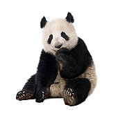 Baby panda eating in a pile of bamboo