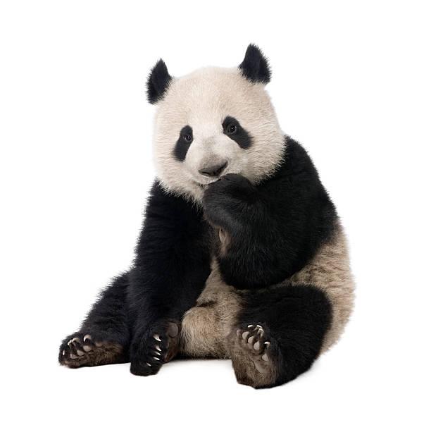 giant panda (18 months)-ailuropoda melanoleuca - panda photos et images de collection