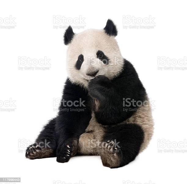 Photo libre de droit de Giant Panda Ailuropoda Melanoleuca banque d'images et plus d'images libres de droit de Animal vertébré