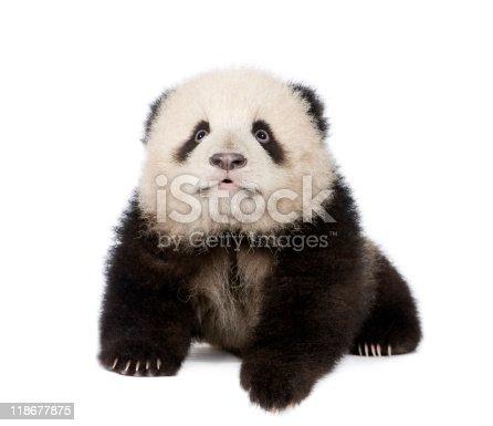 istock Giant Panda (4 months) - Ailuropoda melanoleuca 118677875