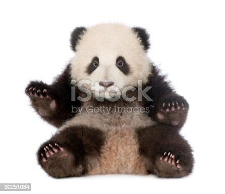 istock Giant Panda (6 months) - Ailuropoda melanoleuca 92251034