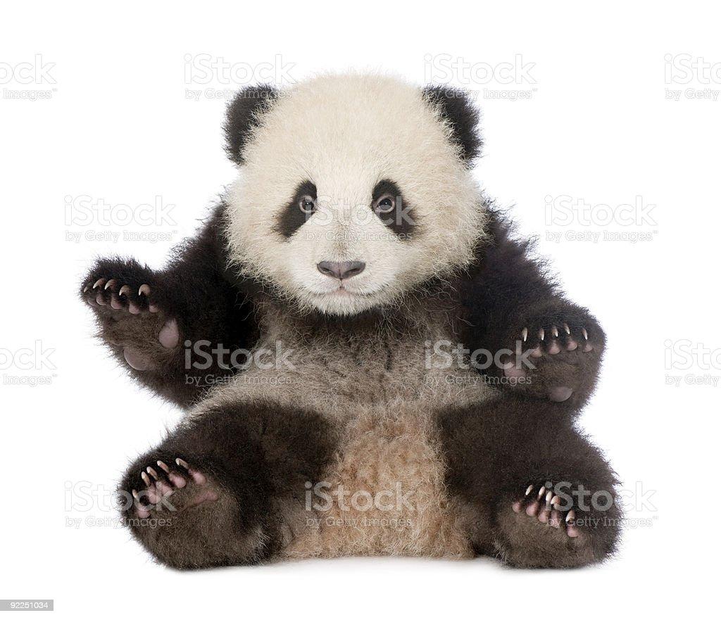 Giant Panda (6 months) - Ailuropoda melanoleuca stock photo