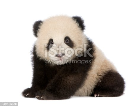 istock Giant Panda (6 months) - Ailuropoda melanoleuca 93216386