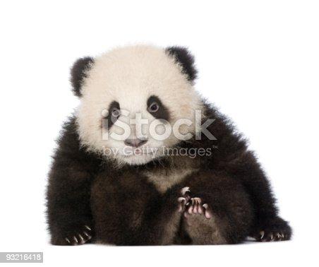 istock Giant Panda (6 months) - Ailuropoda melanoleuca 93216418