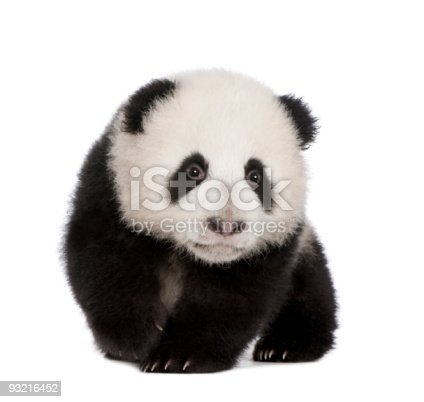 istock Giant Panda (4 months) - Ailuropoda melanoleuca 93216452