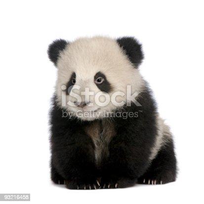 istock Giant Panda (6 months) - Ailuropoda melanoleuca 93216458