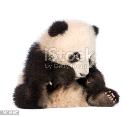 istock Giant Panda (6 months) - Ailuropoda melanoleuca 93216467