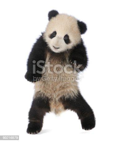 istock Giant Panda (6 months) - Ailuropoda melanoleuca 93216579
