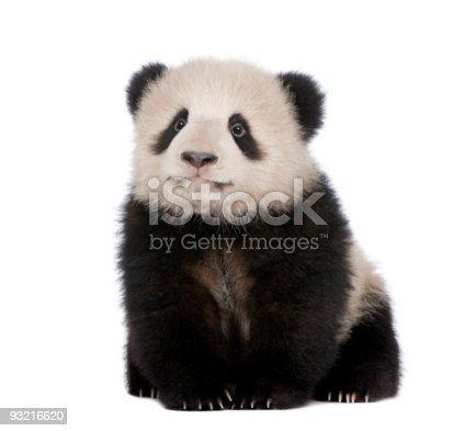 istock Giant Panda (6 months) - Ailuropoda melanoleuca 93216620