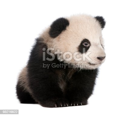 istock Giant Panda (6 months) - Ailuropoda melanoleuca 93216622