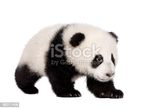 istock Giant Panda (4 months) - Ailuropoda melanoleuca 93217408