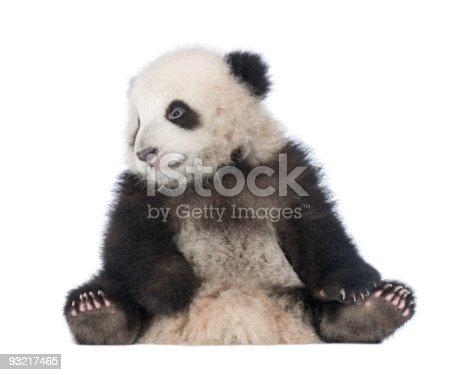 istock Giant Panda (6 months) - Ailuropoda melanoleuca 93217465
