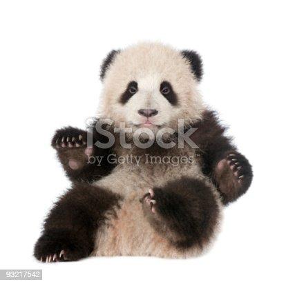istock Giant Panda (6 months old) - Ailuropoda melanoleuca 93217542