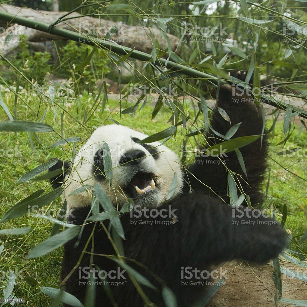 Giant Panda and bamboo royalty-free stock photo