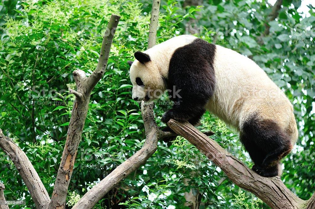 giant panda at chengdu, china stock photo