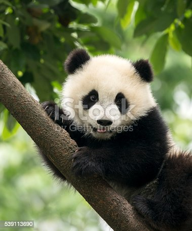 Giant Panda baby cub in Chengdu area, China.