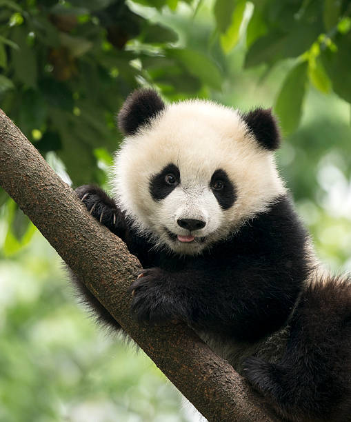 panda-babys cub in chengdu, china - panda stock-fotos und bilder