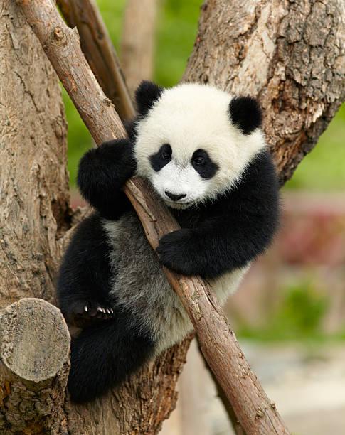 panda gigante bebé sobre el árbol - foto de stock