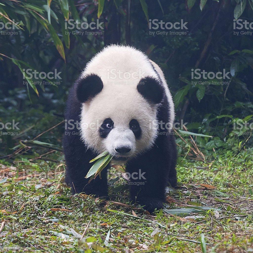Giant panda bear eating bamboo leaves stock photo