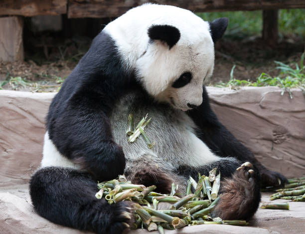 Giant panda bear eating bamboo stock photo