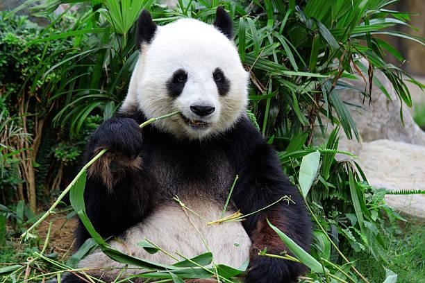 ジャイアントパンダベア食べる竹 - パンダ ストックフォトと画像