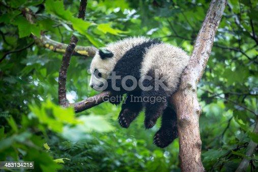 Giant Panda Bear close-up showing him eating a bamboo shoot.