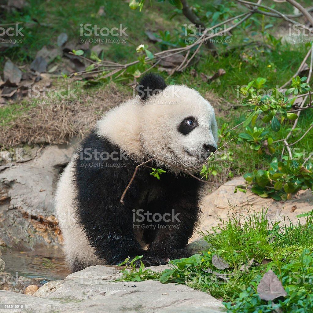 Giant panda bear in nature stock photo