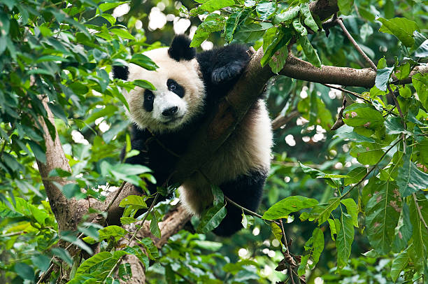 giant panda bear in tree - panda stock-fotos und bilder