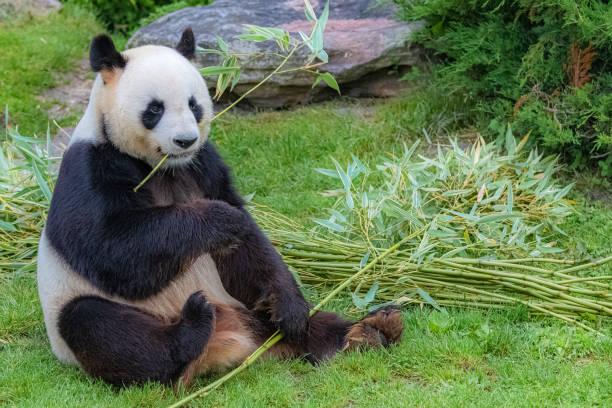 panda géant, panda d'ours - panda photos et images de collection