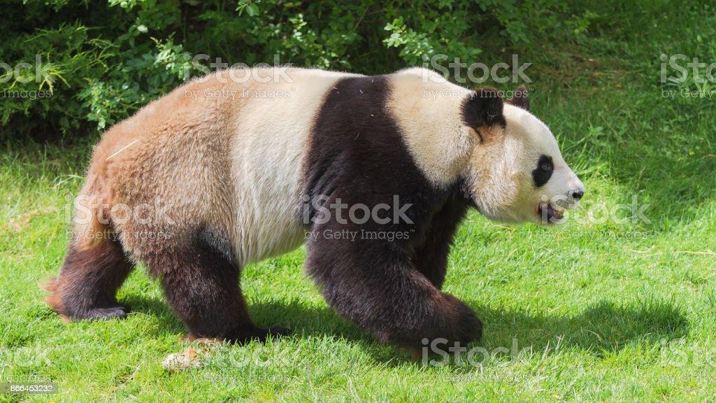 Giant panda, bear panda stock photo