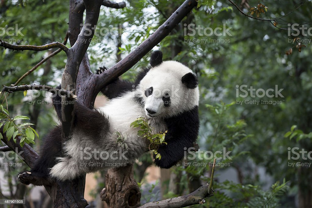 Giant Panda Bear Perched in Tree stock photo