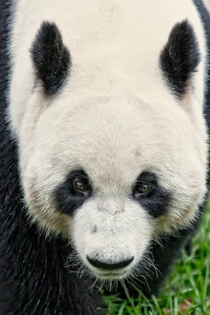 Riesen-Pandabär (Ailuropoda melanoleuca) – Foto