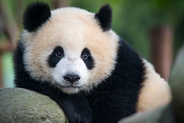 Giant Panda bear  (Ailuropoda melanoleuca) stock photo