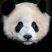 A juvenile Giant Panda bear (Ailuropoda melanoleuca). The panda is a conservation reliant endangered species.