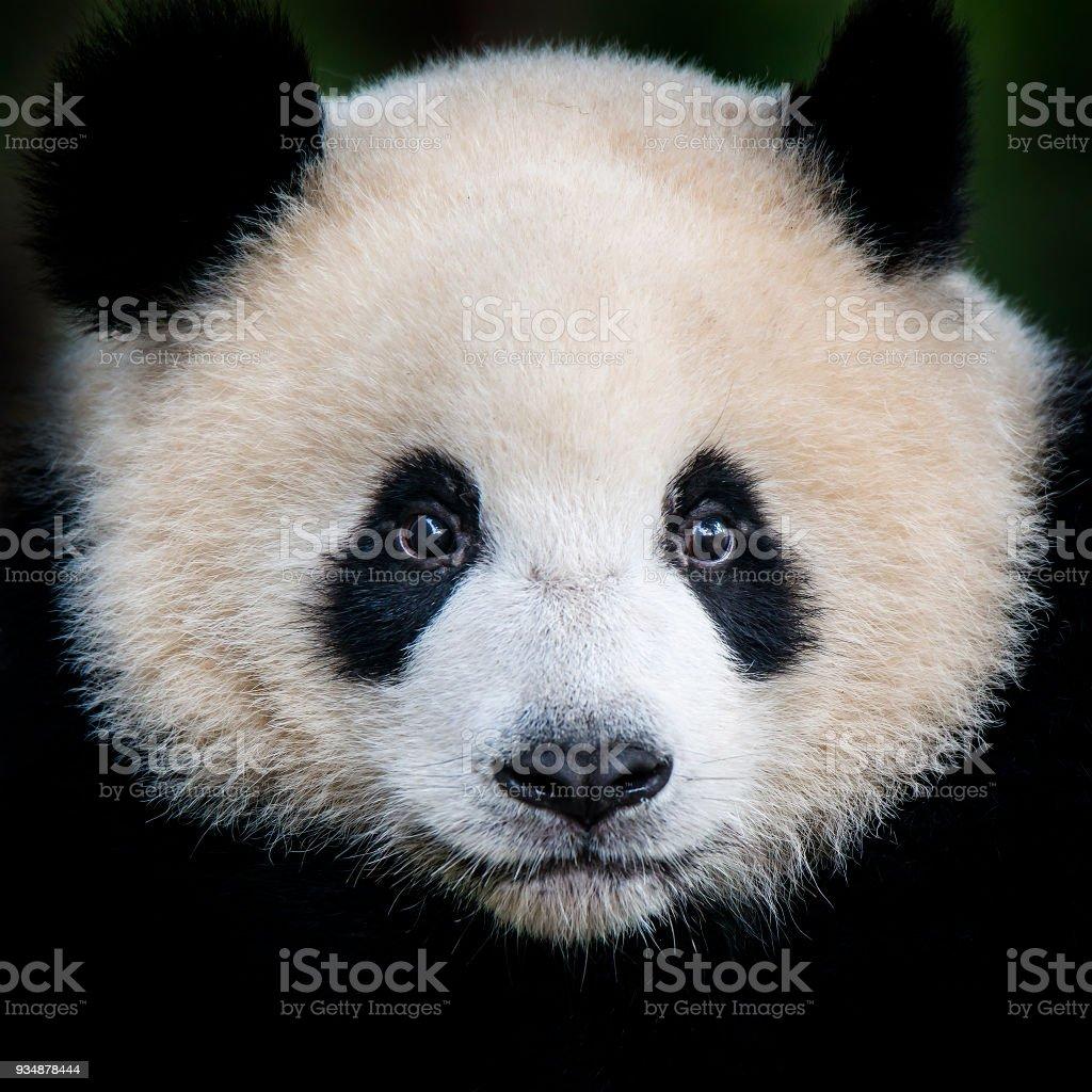 Giant Panda bear (Ailuropoda melanoleuca)  – Foto