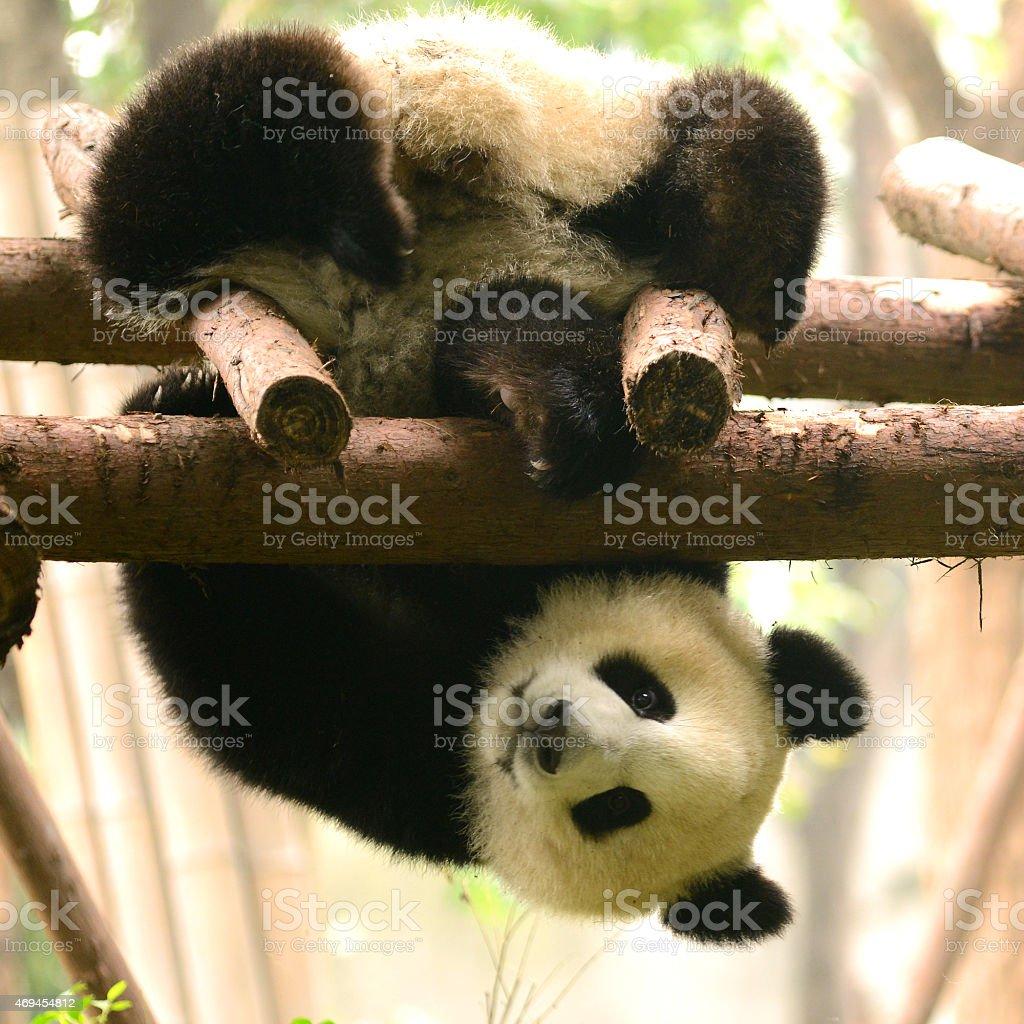 Giant Panda bear playing like Kung Fu panda Action stock photo