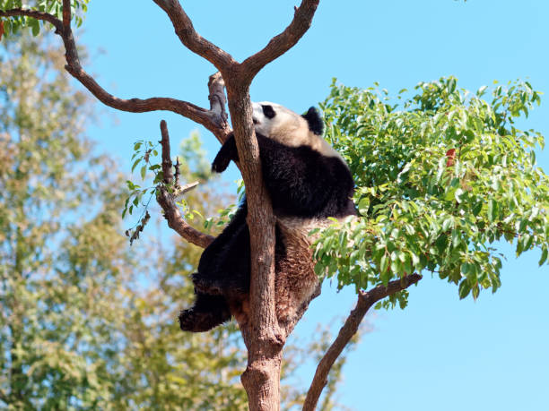 Giant panda bear rest on tree branch in sunny day with blue sky background. stock photo
