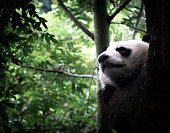 Sleeping giant panda or panda bear in a tree. Sichuan province close to Chengdu, China.