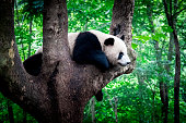 Sleeping giant panda or panda bear in a tree. Sichuan province close to Chengdu, China.