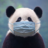 Giant panda bear wearing a face mask against infection